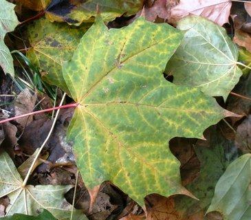 FOTKA - Zelenožlutý javorový list