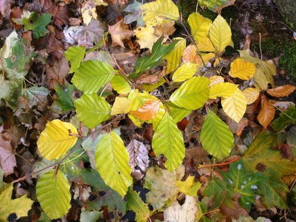 FOTKA - Bukové listí