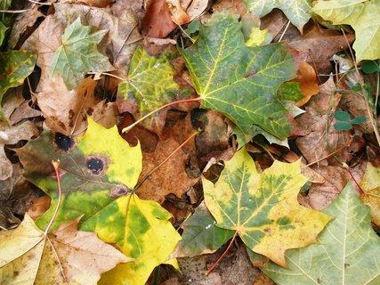 FOTKA - Listí javorové
