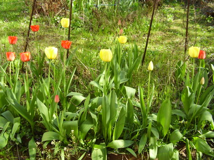 FOTKA - tulipány