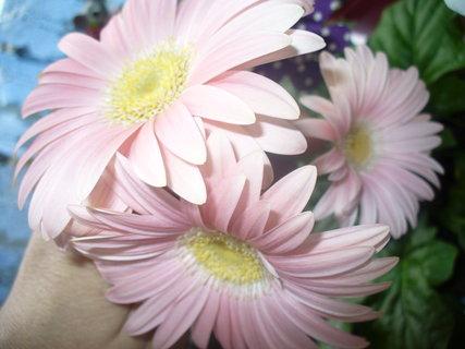FOTKA - Gerberky v květináči