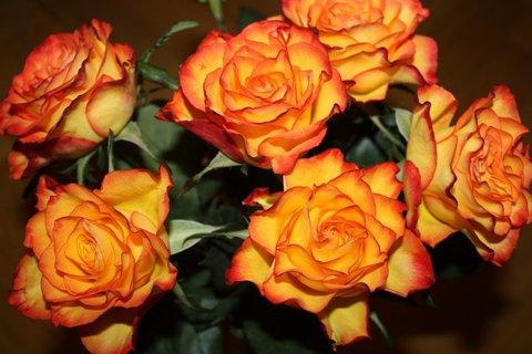 FOTKA - Růže XXXI.