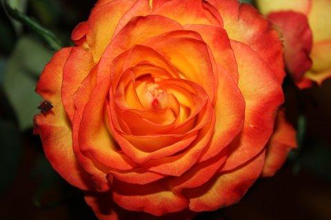 FOTKA - Růže XXXII.