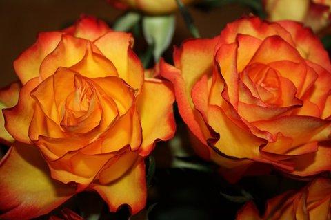 FOTKA - Růže XXXIII.