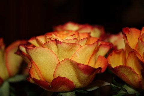 FOTKA - Růže XXXVI.