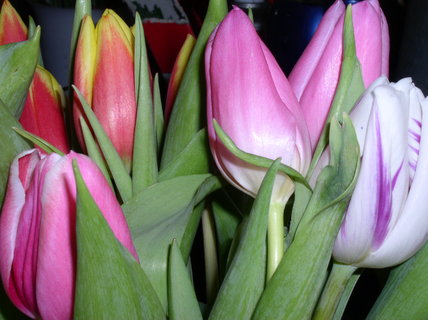 FOTKA - Náruč tulipánů