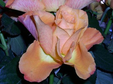 FOTKA - Růže květ