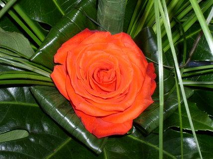 FOTKA - Růže v kalichu