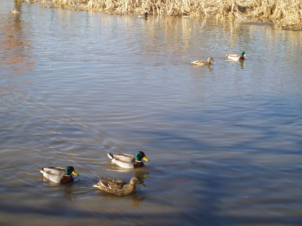 FOTKA - Kačky na řece
