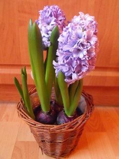 FOTKA - Můj hyacint