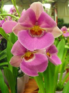 FOTKA - Orchideje miltonia
