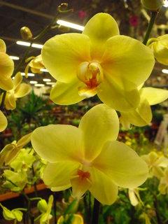 FOTKA - Žlutá Phalaenopsis