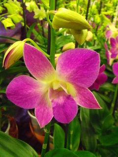 FOTKA - Dendrobium phalaenopsis