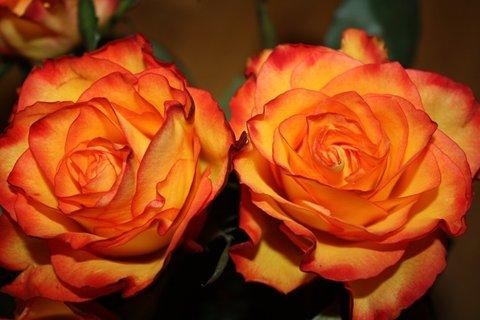 FOTKA - Růže XXXVII.