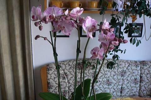 FOTKA - orchidej 17
