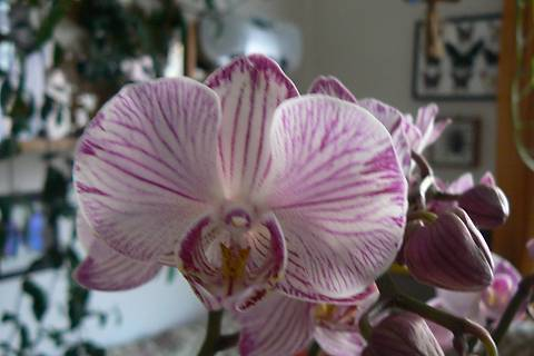 FOTKA - detail květu žíhaná