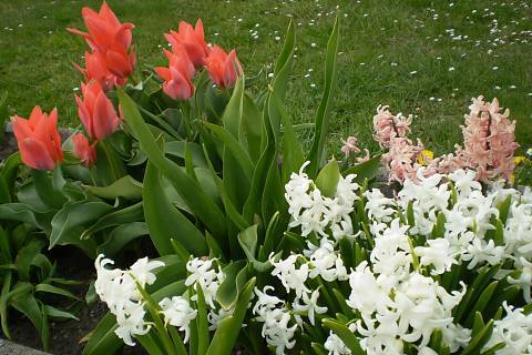 FOTKA - Tulipány a hyacinty