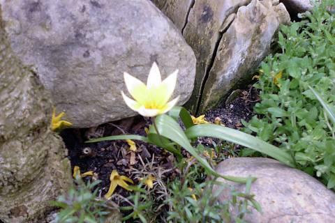 FOTKA - Skalkové tulipánky