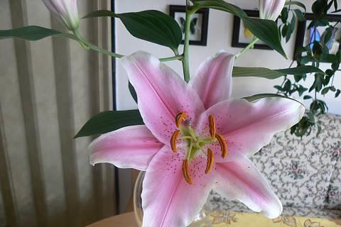FOTKA - detail květu lilie