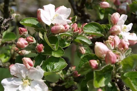 FOTKA - kvete jabloň