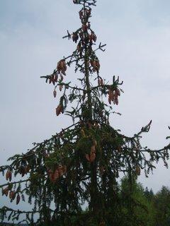 FOTKA - šišky na stromě