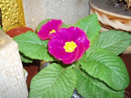 FOTKA - Petrklíč růžový