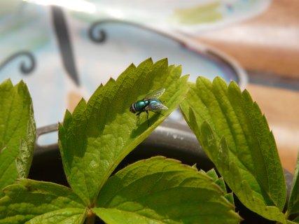FOTKA - moucha na jahodniku