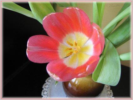 FOTKA - Květ tulipánu
