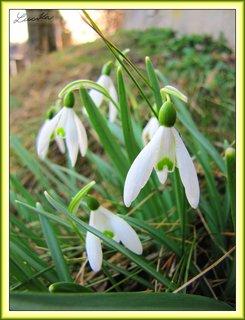 FOTKA - Jarní sněženky