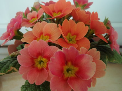FOTKA - oranžový petrklíč