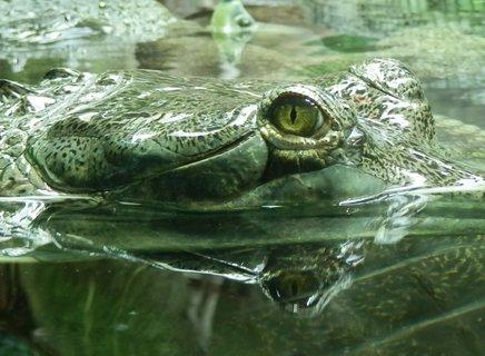 FOTKA - Gaviál indický, může mít 3–7 m, z toho připadá asi polovina na ocas, hmotnost 90−140 kg