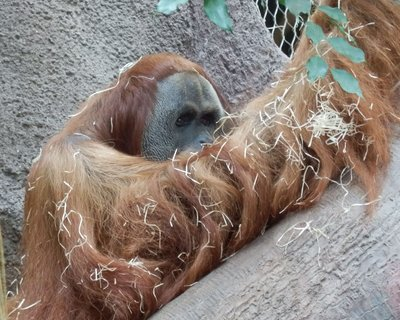 FOTKA - smutný pohled orangutana - patří ke kriticky ohroženým druhům