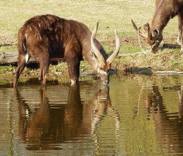 FOTKA - antilopy s odrazem ve vodní hladině (ZOO Praha)