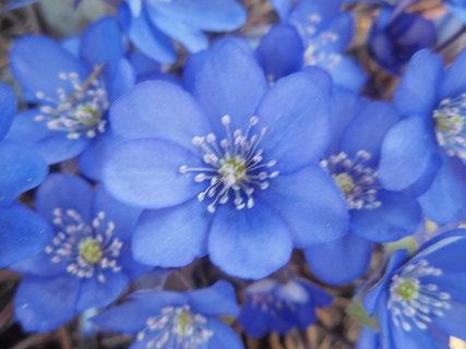 FOTKA - květ podléšky