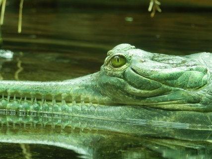 FOTKA - a gaviál nad vodou