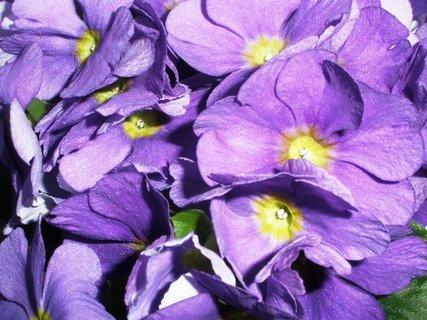 FOTKA - Primulka fialová