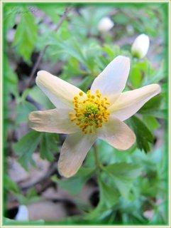 FOTKA - Bílý kvítek sasanky