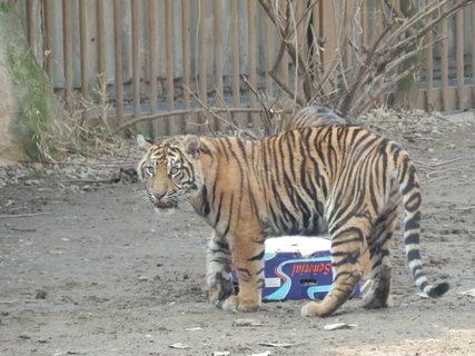 FOTKA - tygříci si hrají s krabicí