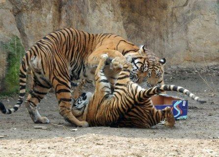 FOTKA - hraví tygři