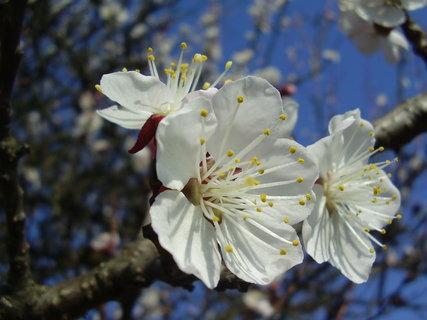 FOTKA - kvetoucí meruňka  ..