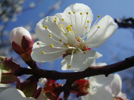 FOTKA - květ meruňky   ...