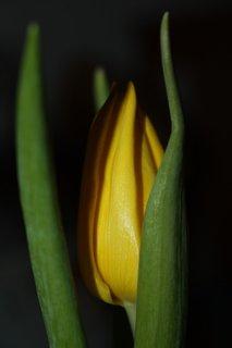 FOTKA - Tulipány XXXXII.