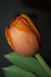 FOTKA - Tulipány XXXXIII.