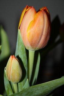 FOTKA - Tulipány XXXXIV.