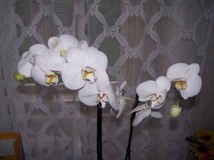FOTKA - Orchidej k narozeninám
