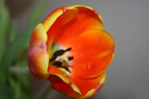 FOTKA - Tulipány XXXXVII.
