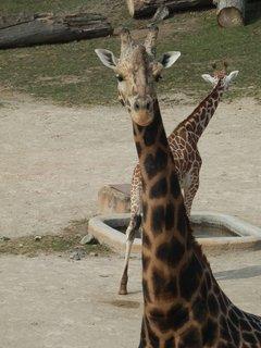 FOTKA - dokonalá kresba - žirafy