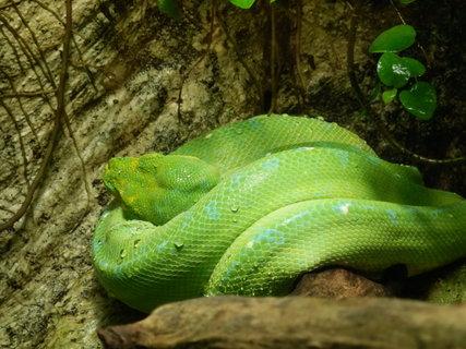 FOTKA - zelený had