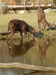 FOTKA - pijící antilopy