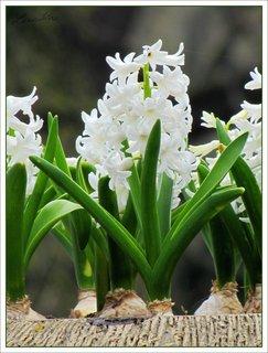 FOTKA - Bílé hyacinty